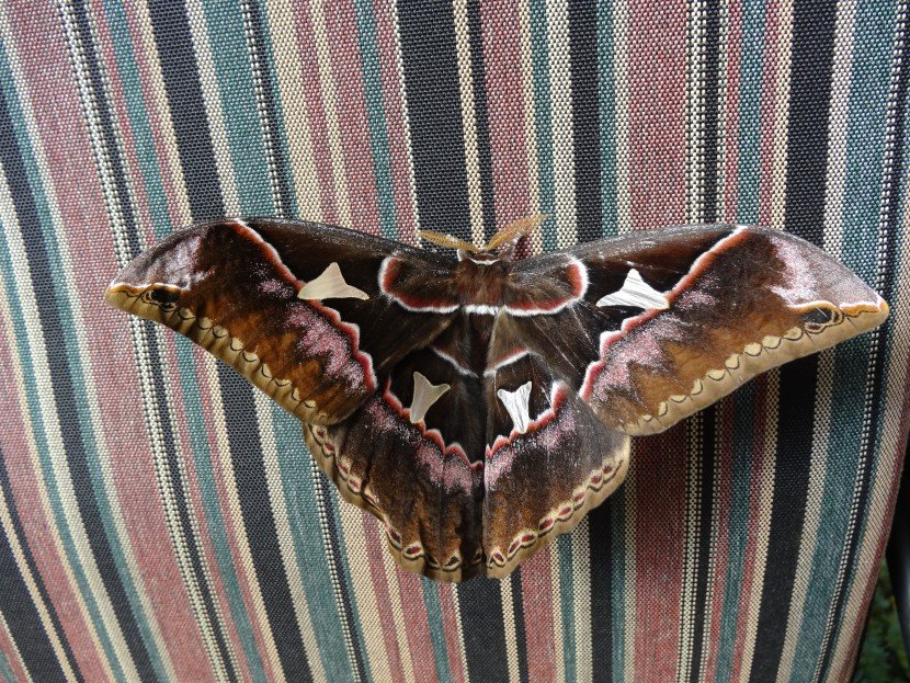 Big Brown Rothschildia moth on stripped couchfrom Finca Dracula Panama