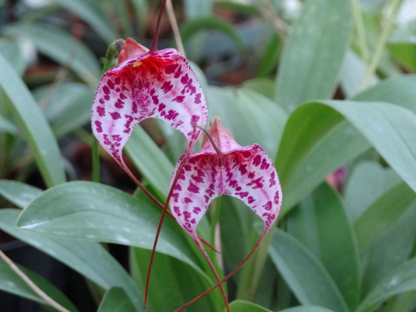 Masdevallia orchid hybrids with pink petals with violet spashes from Finca Dracula Panama