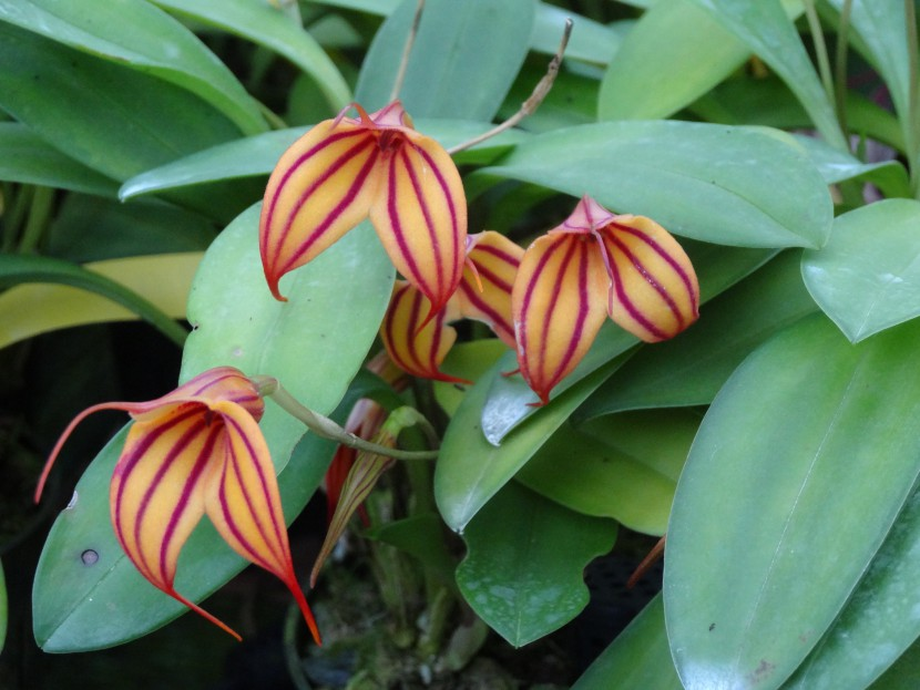 Masdevallia orchid hybrids with four orange with red striped flowers from Finca Dracula Panama