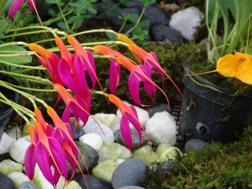 Masdevallia orchid with many fucsia and orange flowers hanging in showrromfrom Finca Dracula Panama