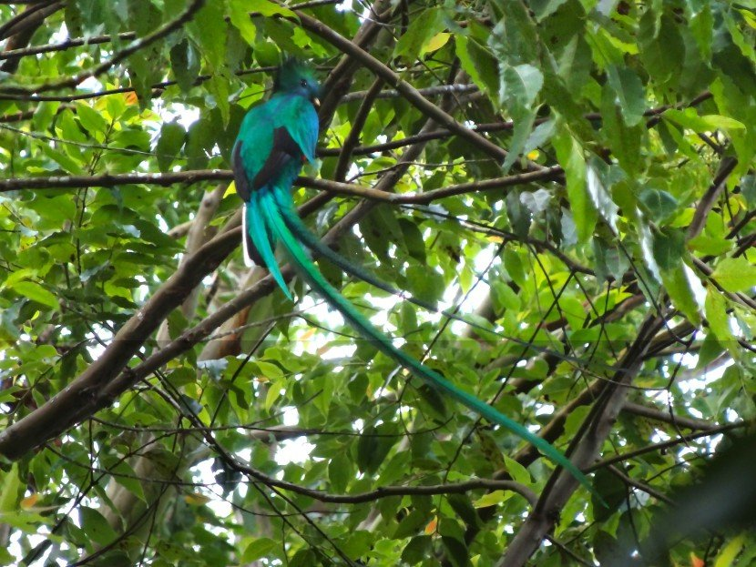 Quetzal iridescent emerald green bird male, from Finca Dracula Panama