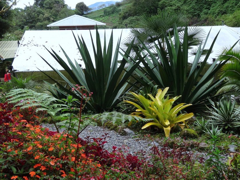 Agabe and bromelia garden with two agabe plants and two yellow bromeliads, also begonias and impatiences from Finca Dracula Panama