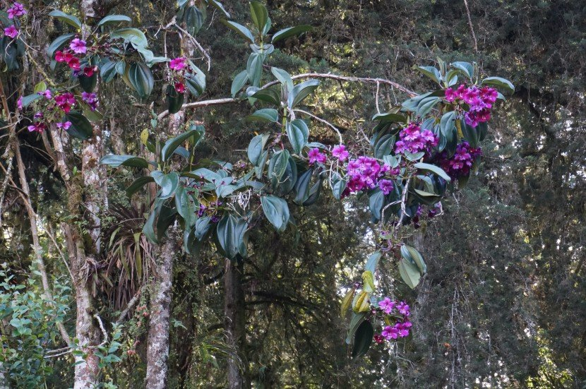 Amarrabollo (Meriana nobilis) in bloom tree with big purple flowers from Finca Dracula Panama