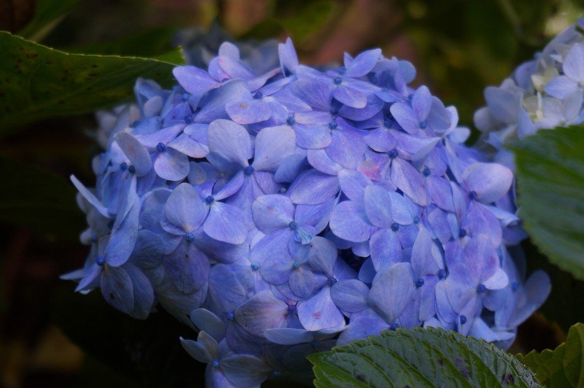 Hydrangea sky blue with purple hint flower close up from Finca Dracula Panama