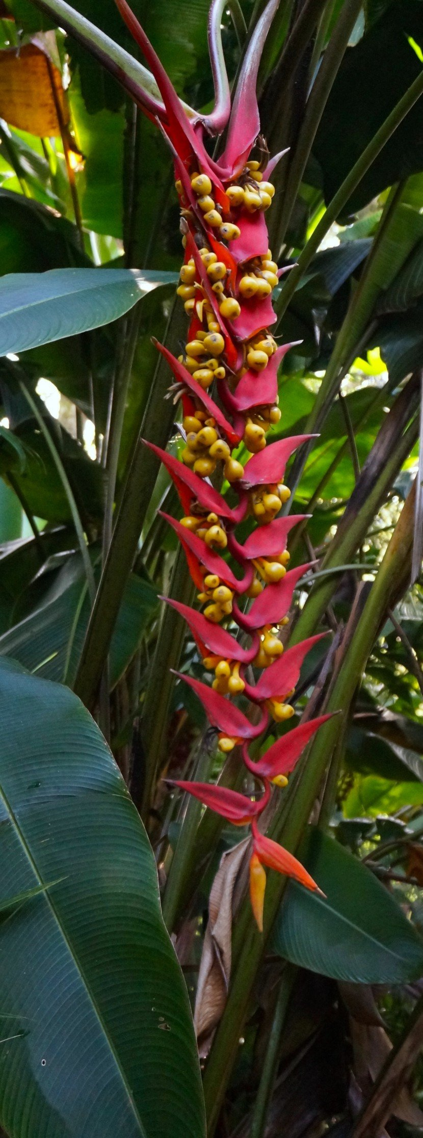 Red Pendant Heliconia from Finca Dracula Panama