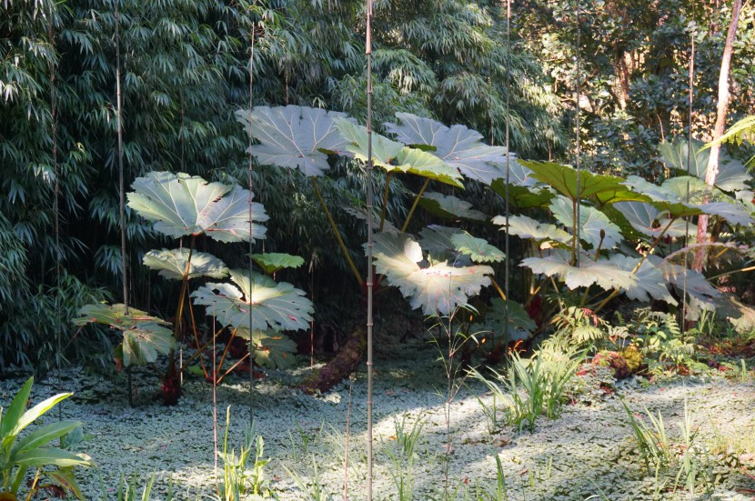 Gunneraceae (Gunnera) in Japanese garden paragua de pobre, poor man's umbrella plant giant plant with big leaves from Finca Dracula Panama