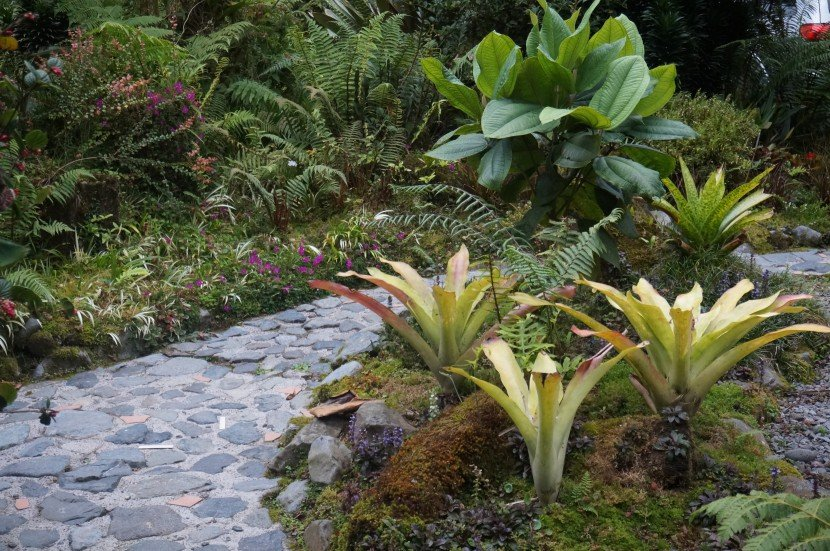 Three green briomeliads with red tip, rock path and melastomatacea bush Bromeliads in garden tropical cloud forest garden from Finca Dracula Panama