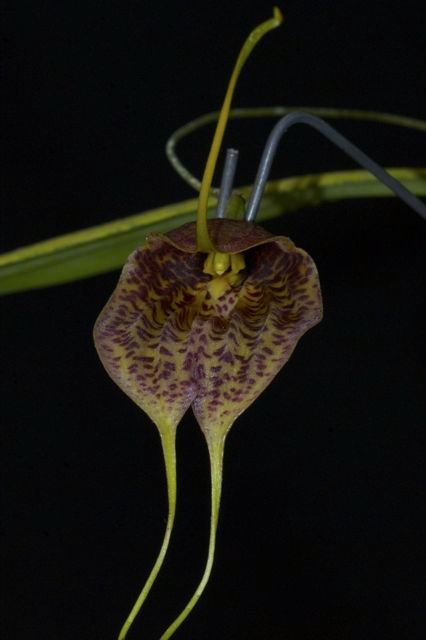 Masdevallia maduroi yellow with deep red speckles and yellow tips from Finca Dracula Panama