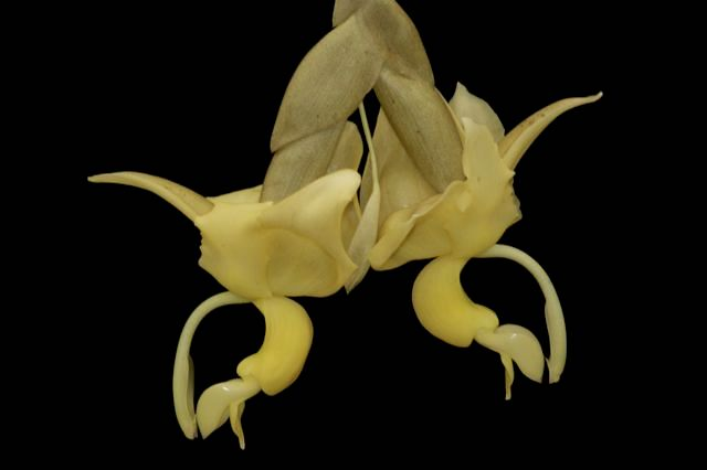 Stanhopea maduroi bull eggs orchid with creem color flowers, two flowers from Finca Dracula Panama