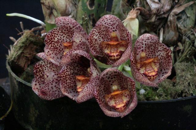 Peristeria pendula flor del espiritu santo's species sister, creme with wine color speckles flowers orchid from Finca Dracula Panama