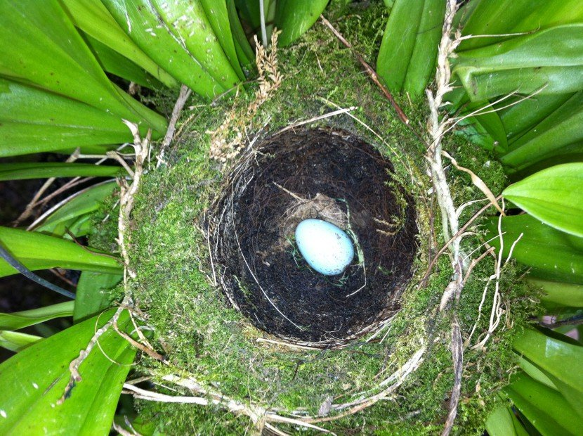 Moss Nest in Dracula orchid with one blue egg from Finca Dracula Panama