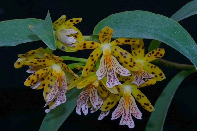 Epidendrum from Finca Dracula Panama