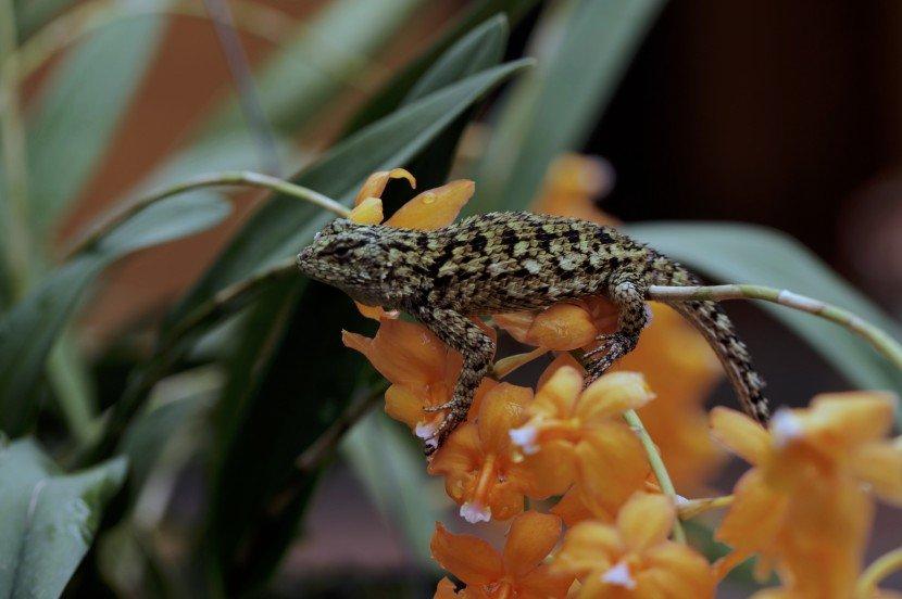 spine moss looking lizard over cochleoda noerzliana orange orchid flowers from Finca Dracula Panama