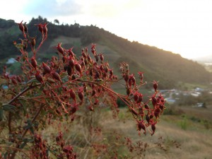 Sunset and red seedpods from Finca Dracula Panama