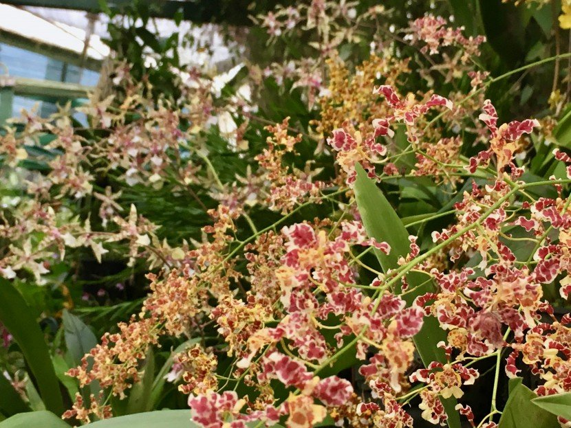 Oncidium zelenkoanum yellow flowers with many curled flowers orchid in showroomfrom Finca Dracula Panama