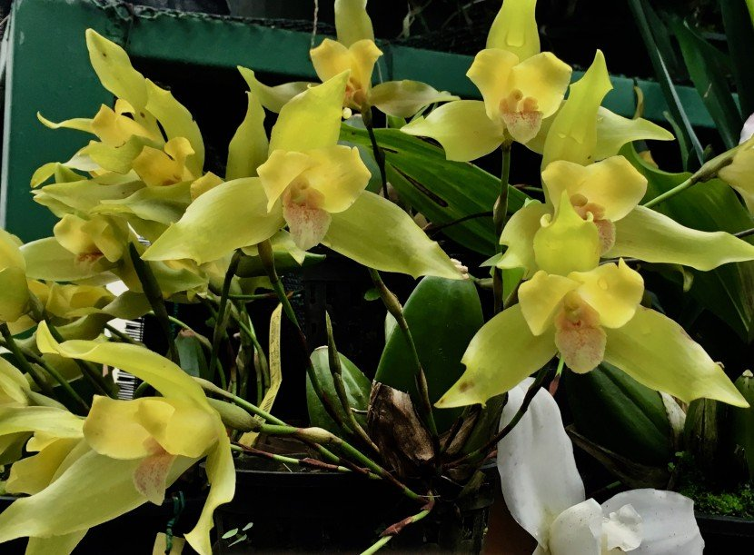 sixteen greenish yellow Lycaste orchid flowers and one white Lycaste flower on bottom.