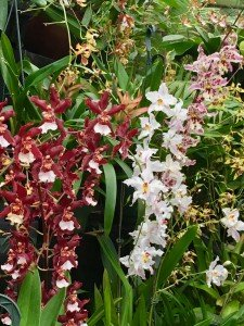 Odontoglossum (oncidium) orchids, including the white crispum, and brown and pinked flower hybrids, many flowers in display