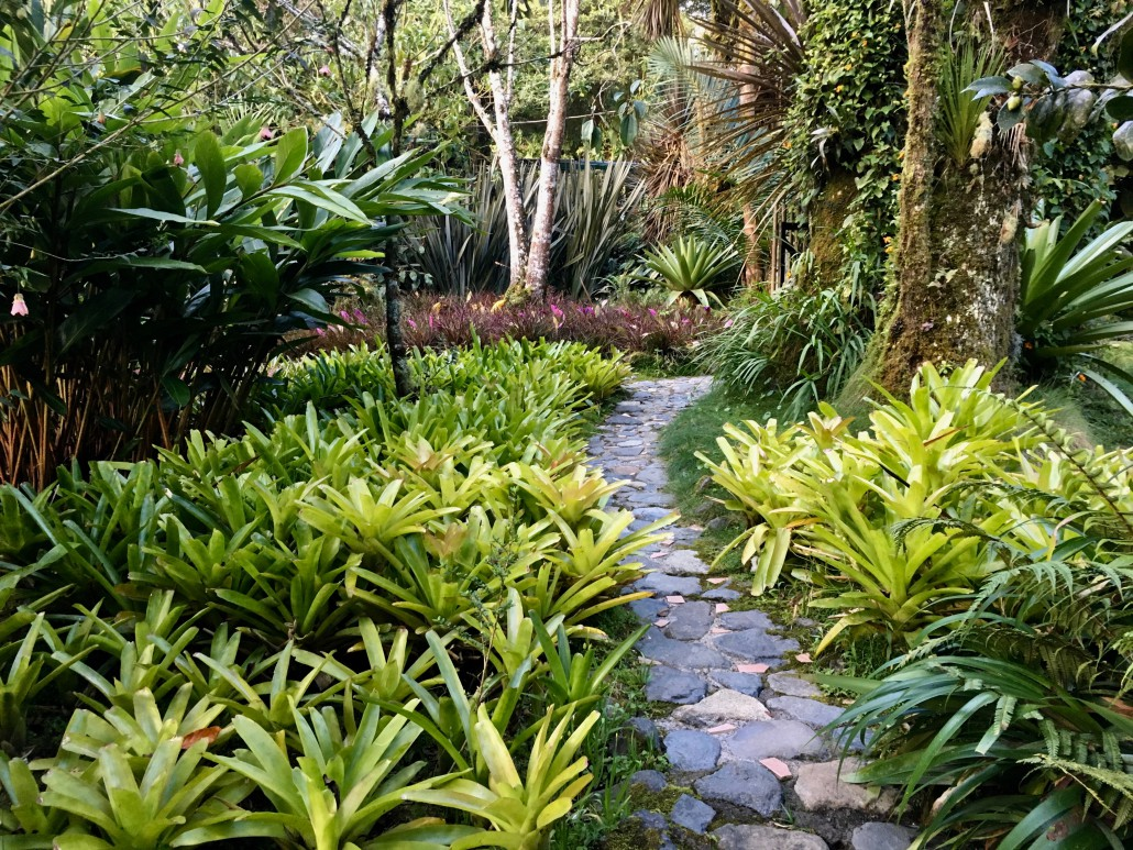 many light green bromeliads in garden in front and violet tillandsia bromeliads growing on back Cardamom Ginger plants on the side.