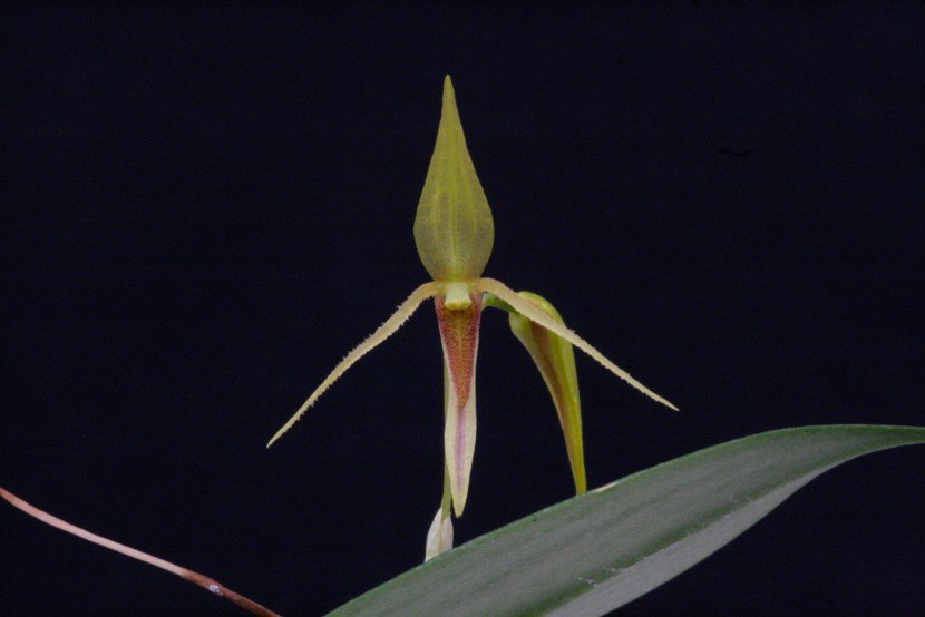 Acronia sp. yellow flower orchid from Finca Dracula Panama