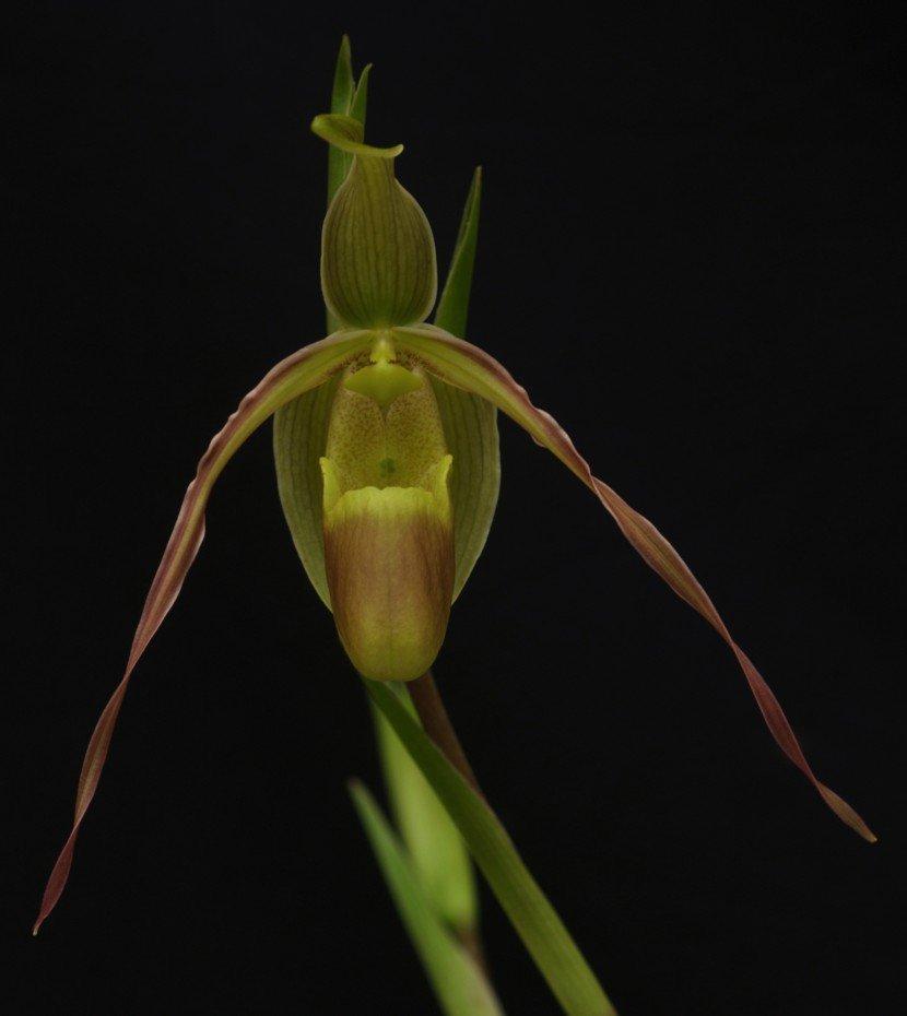 Phragmipedium longifolium green Orchid in black background from Finca Dracula Panama