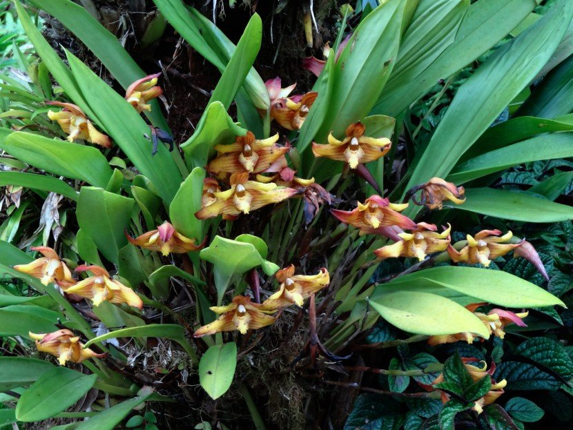Maxillaria Striata orchid growing on tree in garden closeup from Finca Dracula Panama