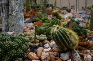 Cactus of different varieties growing on the ground with reddish rocks