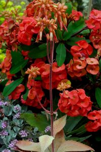 Red Euphorbia succulent flower with redish Kalanchoe in bloom