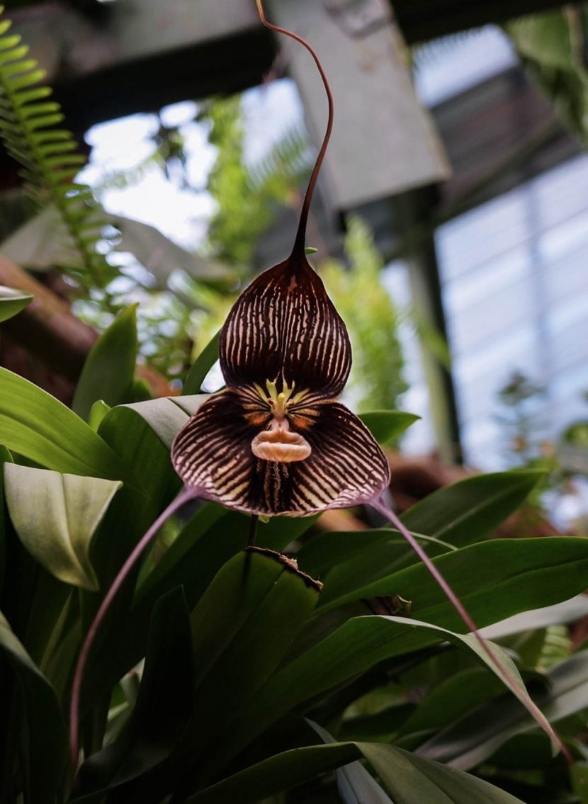Orchid flower with dark and white stripes, dracula, monkey face orchid