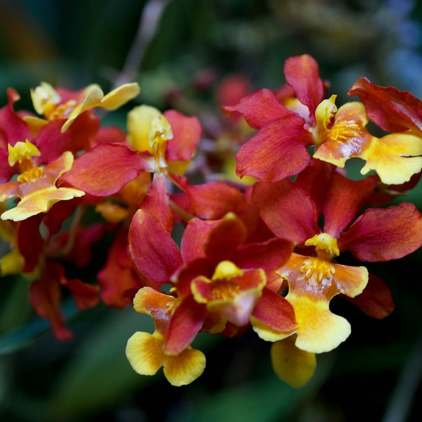 Bright yellow, orange and red orchid flower oncidium close up