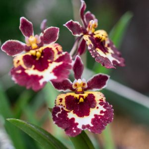 Three small flowers of tolumnia orchid red with spots