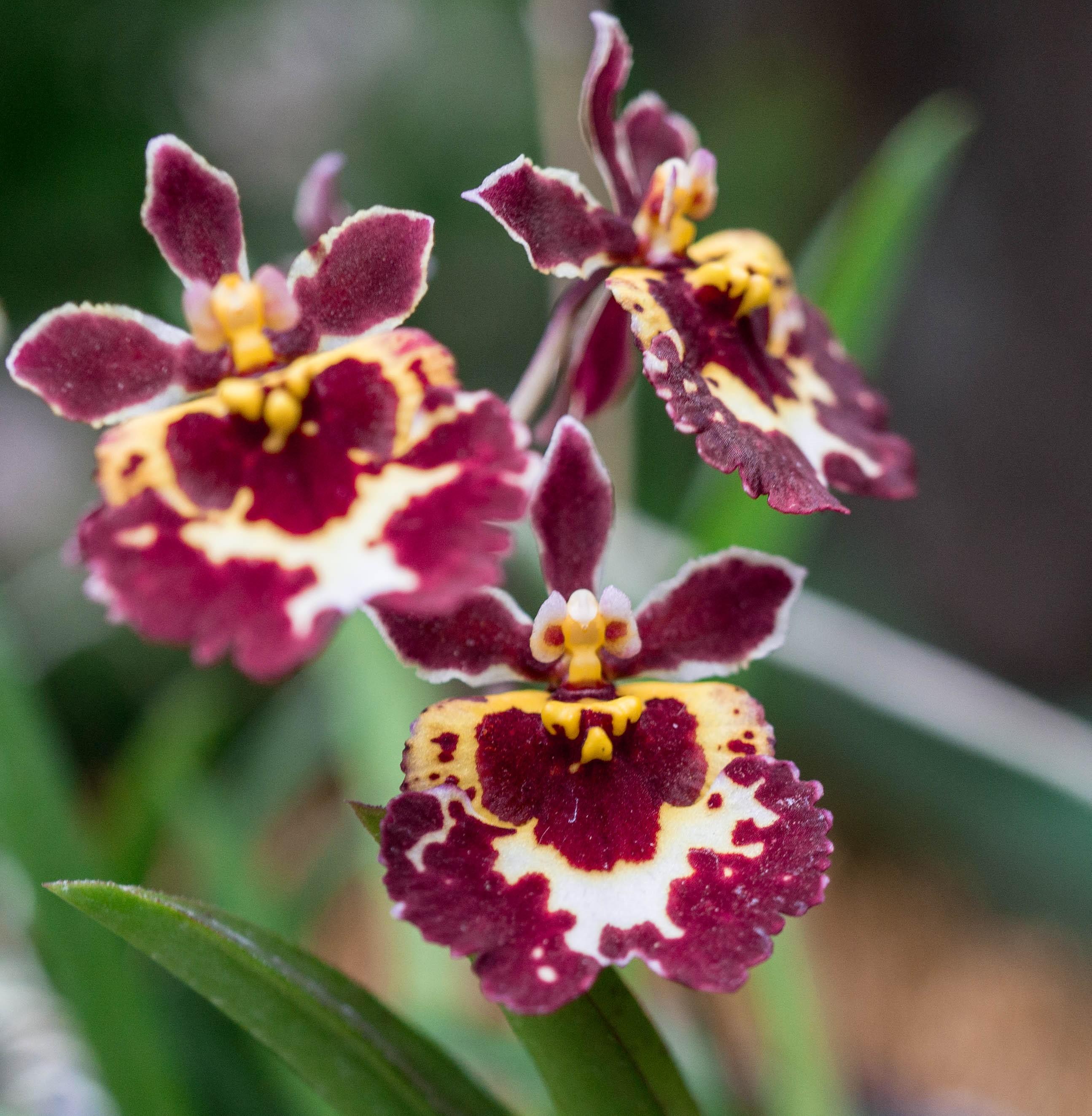 Flor de orquidea tolumnbia roja , tres flores con manchas blancas y rojo vino