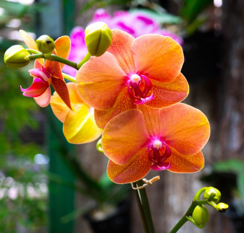 Fire orange orchid whit pink petal