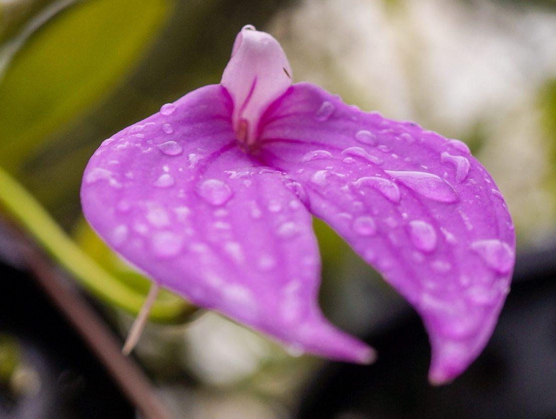 Masdevallia fusha con gota de agua