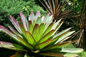 Giant Alcantarea imperialis plant