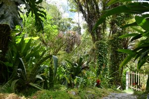 Bromeliad garden in tropical cloud forest with Cordyline, vines and Phylodendrum