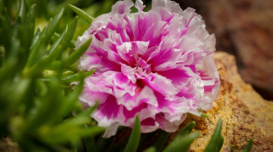 flor color rosa con petalos de borde blanco