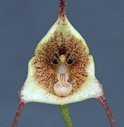 Flor de orquidea peluda