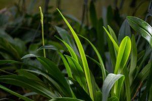 Hoja verde delgada similar a una espada