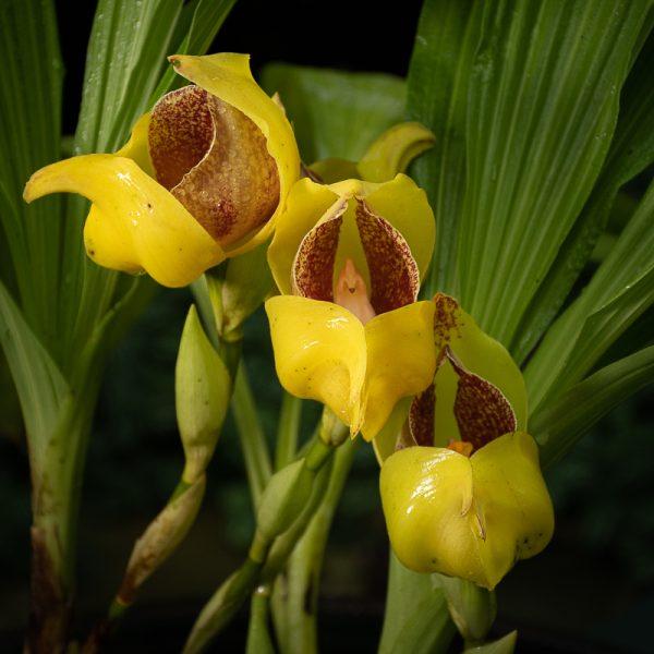 Orquídea pico de loro, flores amarillas con manchas chocolates en el centro