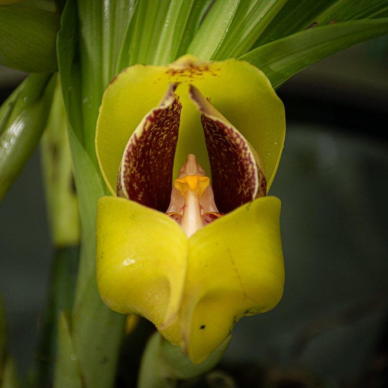 Orquídea pico de loro, flor amarilla con manchas chocolates en el centro