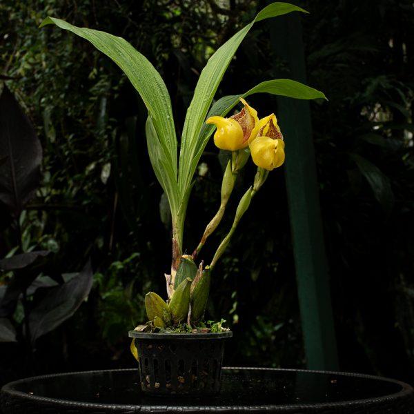 Planta Orquídea pico de loro, flores amarillas con manchas chocolates en el centro