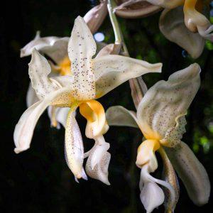 Flor grande colgando de color blanco con manchas chocolates pequeñas y centro amarillo al rededor otras flores iguales y el fondo negro