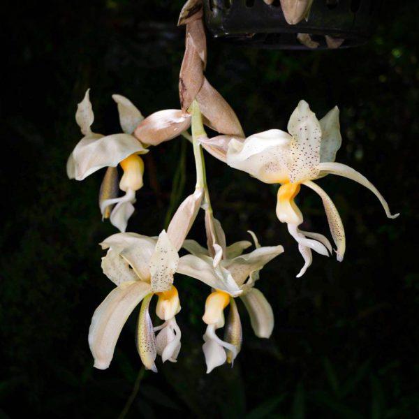 Flores colgantes grandes de orquídea Stanhopea de color blanco con machas pequeñas chocolates y centro amarillo y el fondo negro
