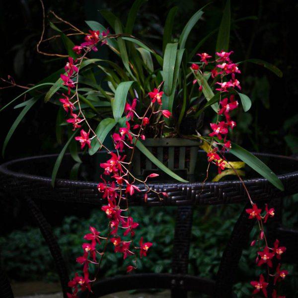 Planta de orquídea Oncidium con muchas hojas largas verdes y lisas y varias ramas de inflorescencia con flores pequeñas rojas con centro amarillo y blanco y en el fondo otras hojas verdes