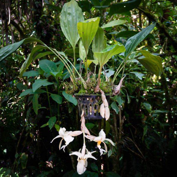 Planta de orquídea de tamaño medio con hojas grandes largas y anchas y flores colgantes grandes de color blanco con manchas pequeñas chocolates el centro de la flor es amarillo y en el fondo hay hojas verdes de otras plantas