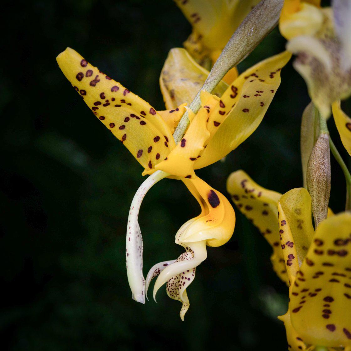 Flor grande colgante de orquídea Stanhopea de color amarillo con manchas chocolates a la derecha otras flores desenfocadas y el fondo negro