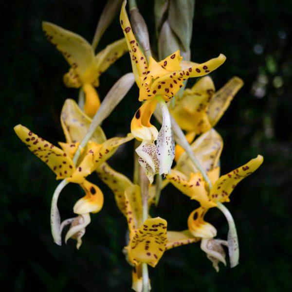 Flores colgantes grandes de orquídea de color amarillo con manchas chocolates grandes y pequeñas y el fondo negro