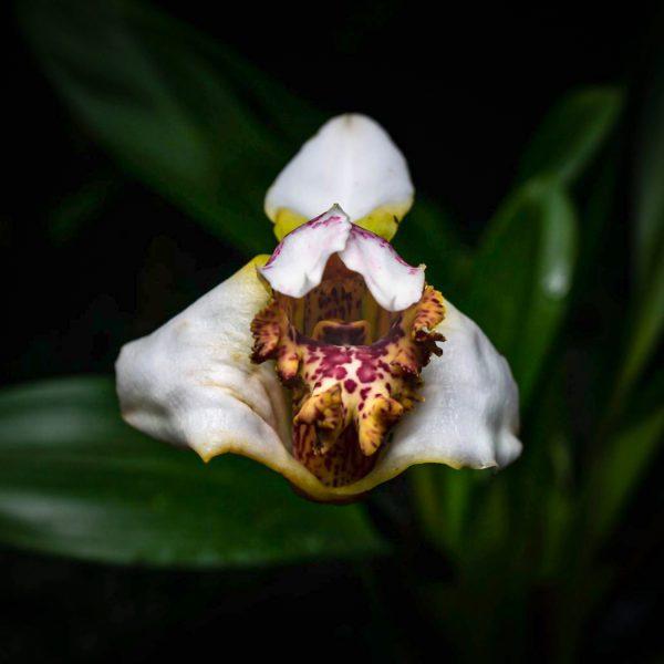 Flor mediana de pétalos de color blanco con el centro de color amarillo chocolatoso con manchas de color rojo vino por dentro y por fuera con el parecido de una boca y una lengua y en el fondo hojas verdes oscuras y el resto del fondo es negro