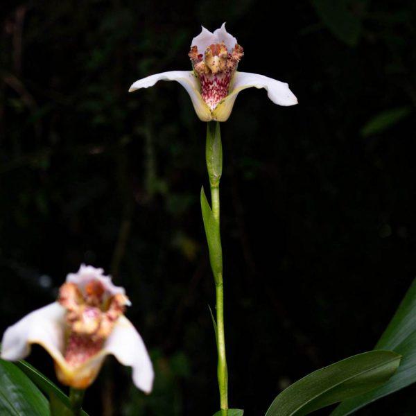 Flor blanca con centro amarillo chocolatoso con manchas de color rojo claro en una rama vertical verde caña abajo unas hojas verdes y otra flor igual desenfocada y el fondo negro