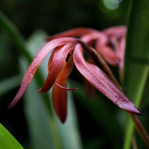 Flor pequeña de orquídea Maxillaria de color rojo vino con una ramita chocolate y en el fonddo otras flores iguales y hojas verdes